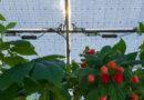 O afacere de viitor: cultivarea fructelor de pădure sub panouri solare